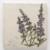 Endangered/Invasive (Floating Marsh Marigold & Purple Loosestrife) thumbnail