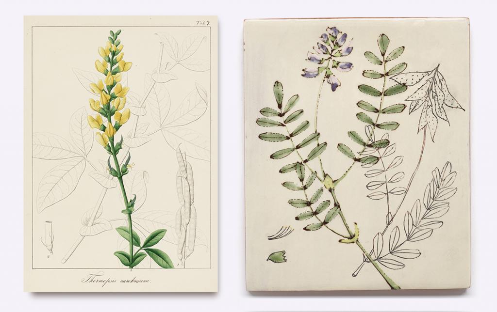 Chloris Boreali-Americana… Asa Gray. 1846. Wangensteen Historical Library. UMN. (left)