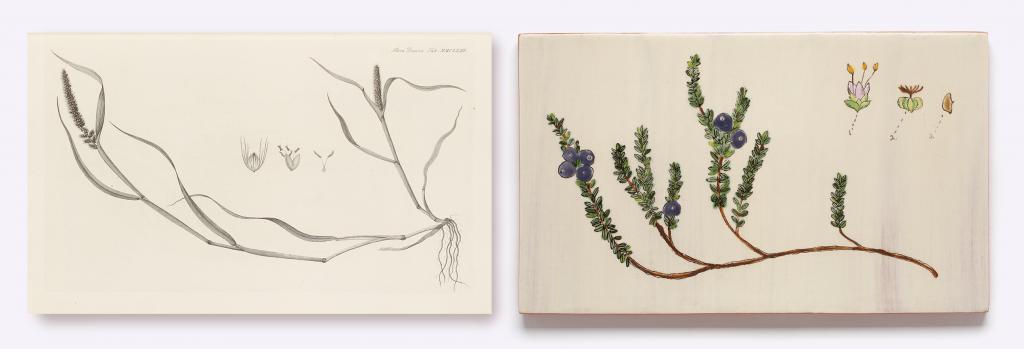 Icones plantarum sponte nascentium in regnis Daniae et Norvegiae…vol. 13, pt. 1. Georg Christian Oeder. 1764. Wangensteen Historical Library. UMN. (left)