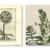 Hortus floridus. Crispin van de Pass. 1614. Andersen Horticultural Library. UMN. (left) thumbnail